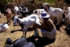 14. Ordeña de cabras para la fabricación de queso en la veranada de Laguna Grande, Huasco Alto.