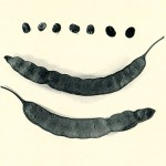Semillas de cebil. Cultura San Pedro 600-900 d.C., Museo R. P. Gustavo Le Paige. (Tiwanaku 2000: 82-84)